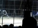 Цирк огромных животных в Липецке Лев и выстрел